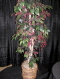 Where to rent FICUS TREES W  RED LEAF 3 SIZE in White Oak TX